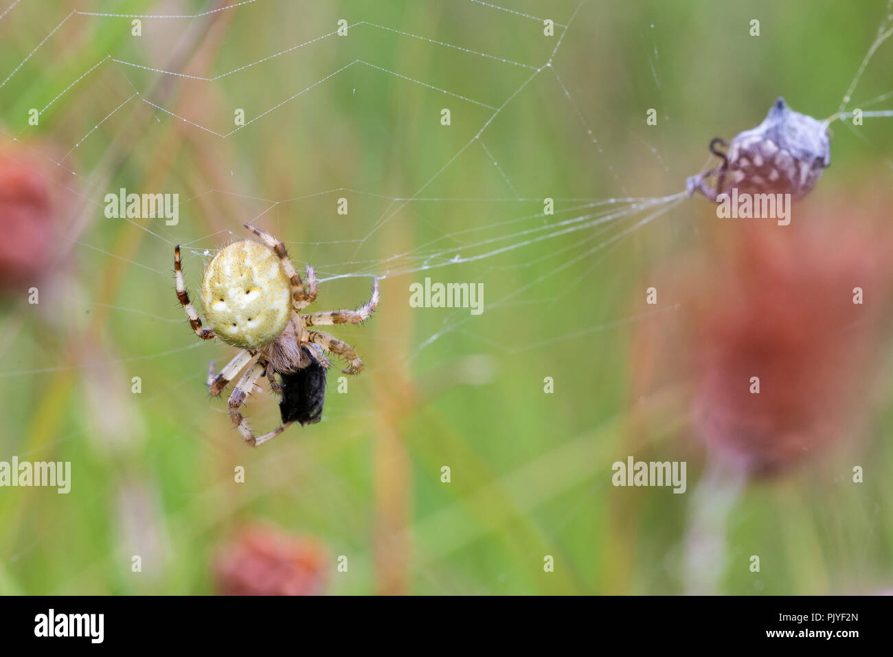 Four-spot Orb Web Spider, Araneus quadratus, with prey.  Whitelye Common, Monmouthshire, Wales. Family Araneidae. - Stock Image