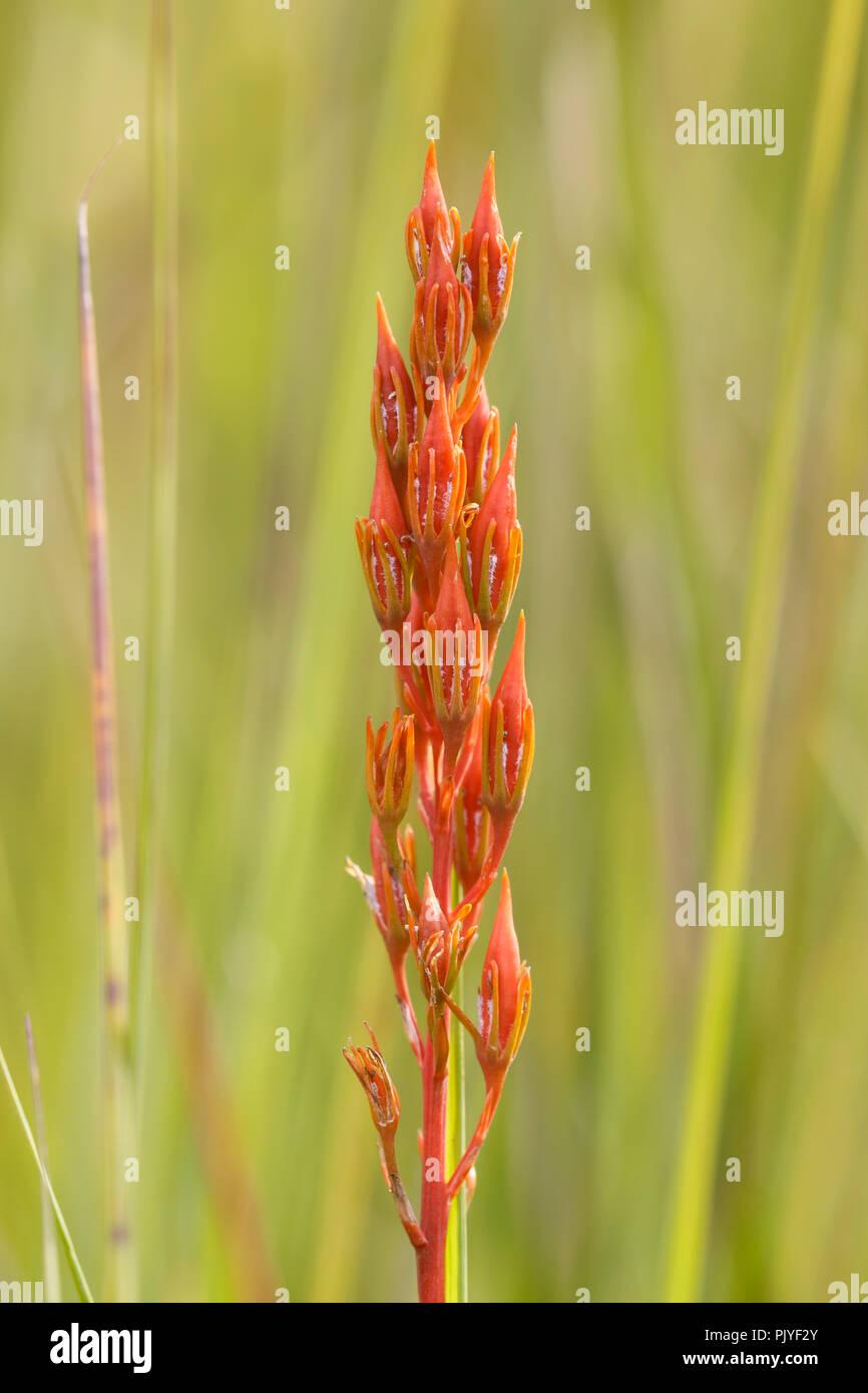 Bog Asphodel, Narthecium ossifragum, seedhead, August, Monmouthshire, Wales, UK - Stock Image