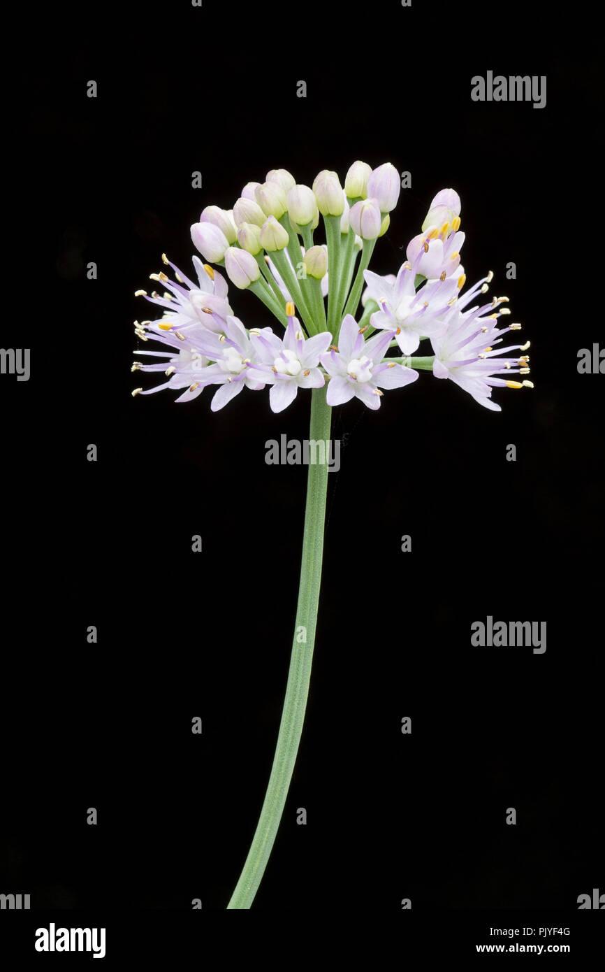 Allium senescens var. glauca, flower. - Stock Image