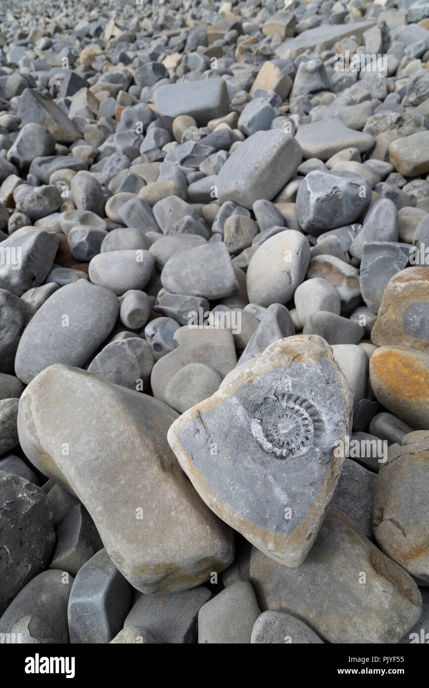 Fossil ammonite on the beach at Lavernock Point, Glamorgan, Wales, UK - Stock Image