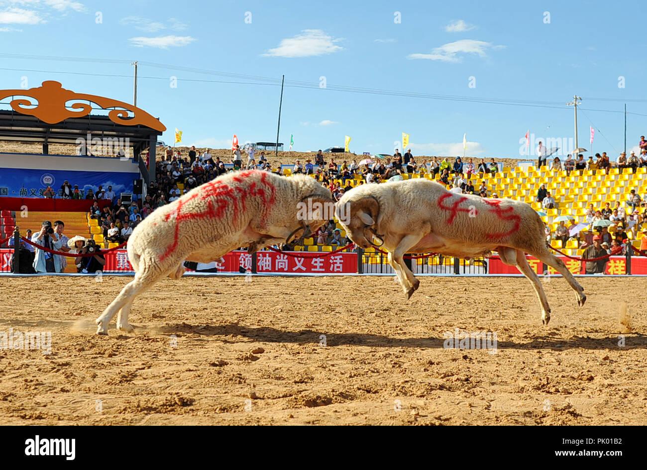Zhangjiak, Zhangjiak, China. 10th Sep, 2018. Zhangjiakou, CHINA-The goat fighting is held in Zhangjiakou, north China's Hebei Province. Credit: SIPA Asia/ZUMA Wire/Alamy Live News - Stock Image