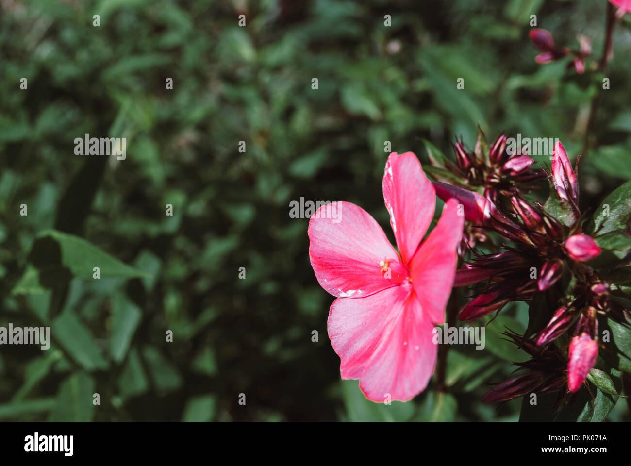 Beutiful Violet Phlox Flowers Herbs In A Home Perennial Garden
