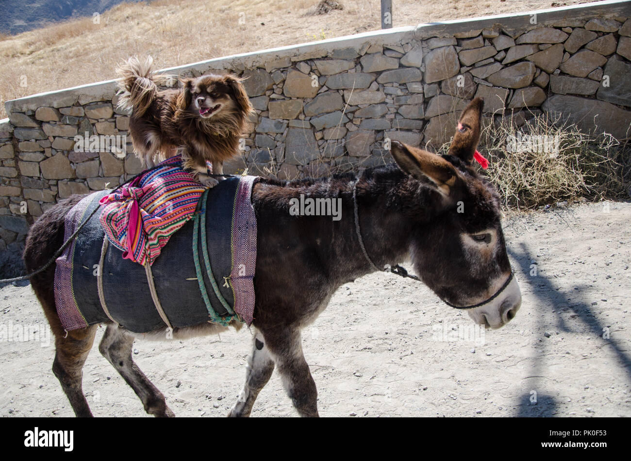 Happy dog above donkey next to the mountains of the city of San Pedro de Castas east of Lima - Peru - Stock Image