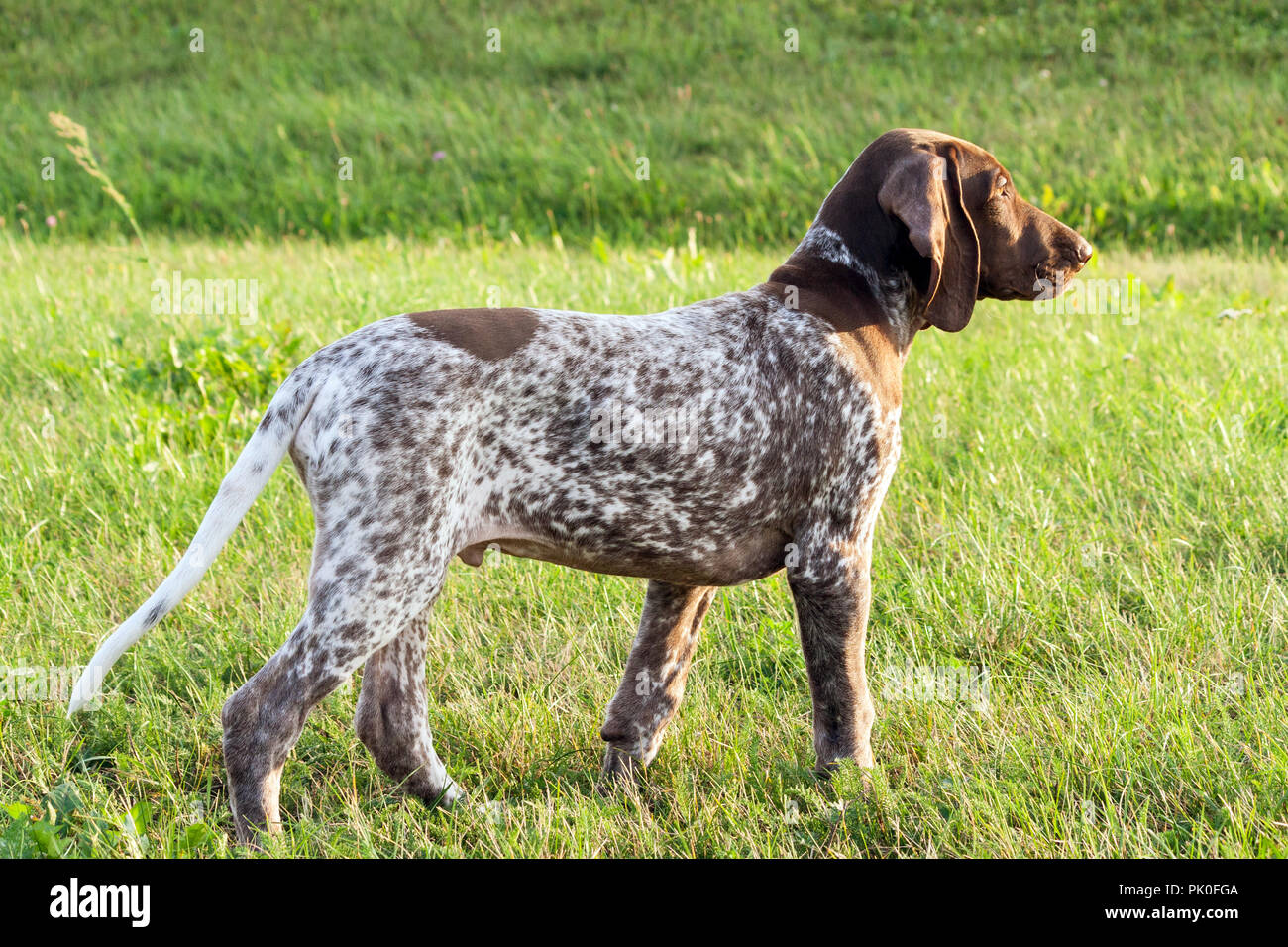 german shorthaired pointer, german kurtshaar one spotted puppy stand up with head up, profile photo, against the background of green grass, sunny - Stock Image
