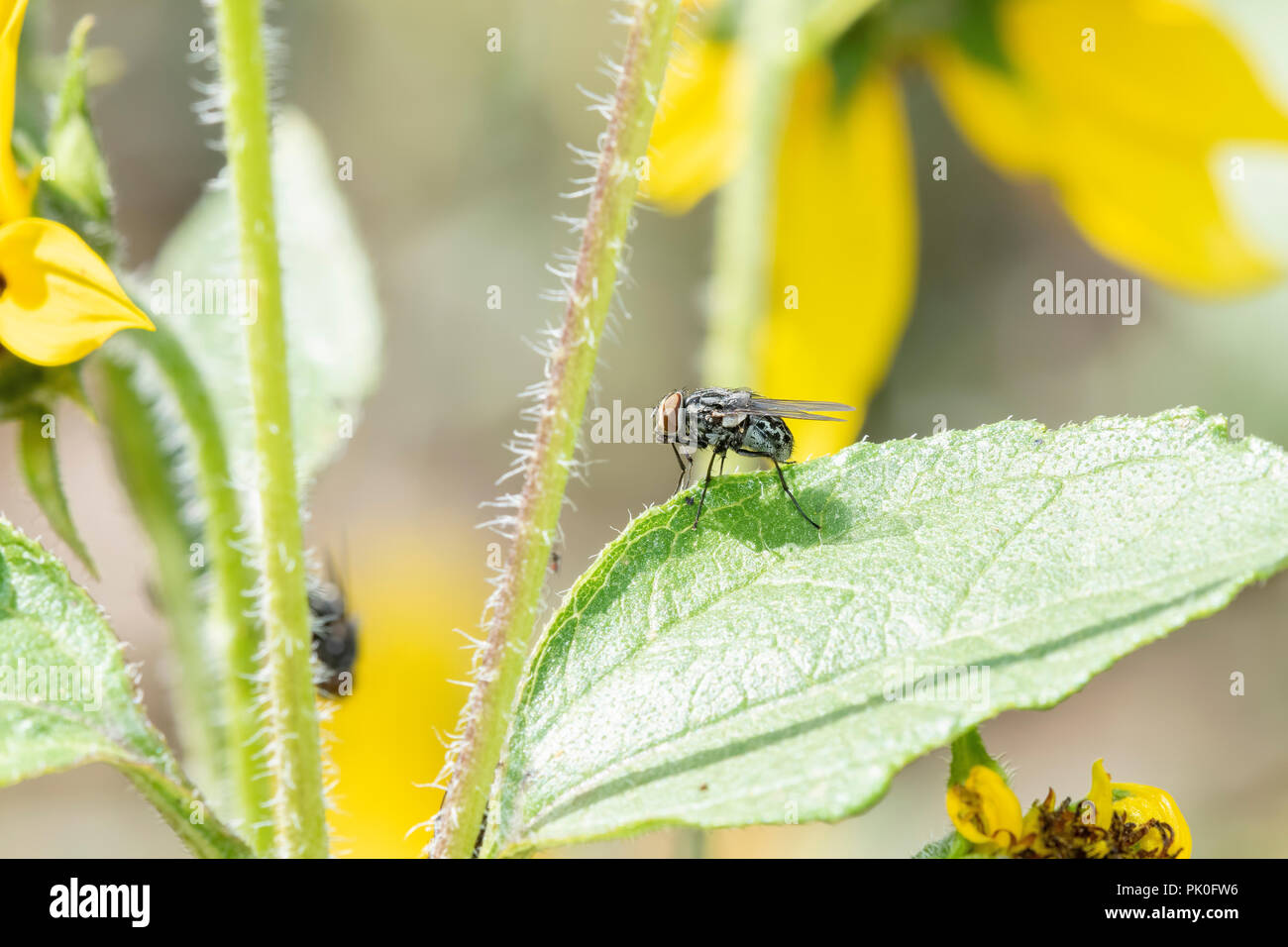 Macro of a Tachinid Fly Perched on a Green Leaf on Wildflowers in Eastern Colorado Stock Photo