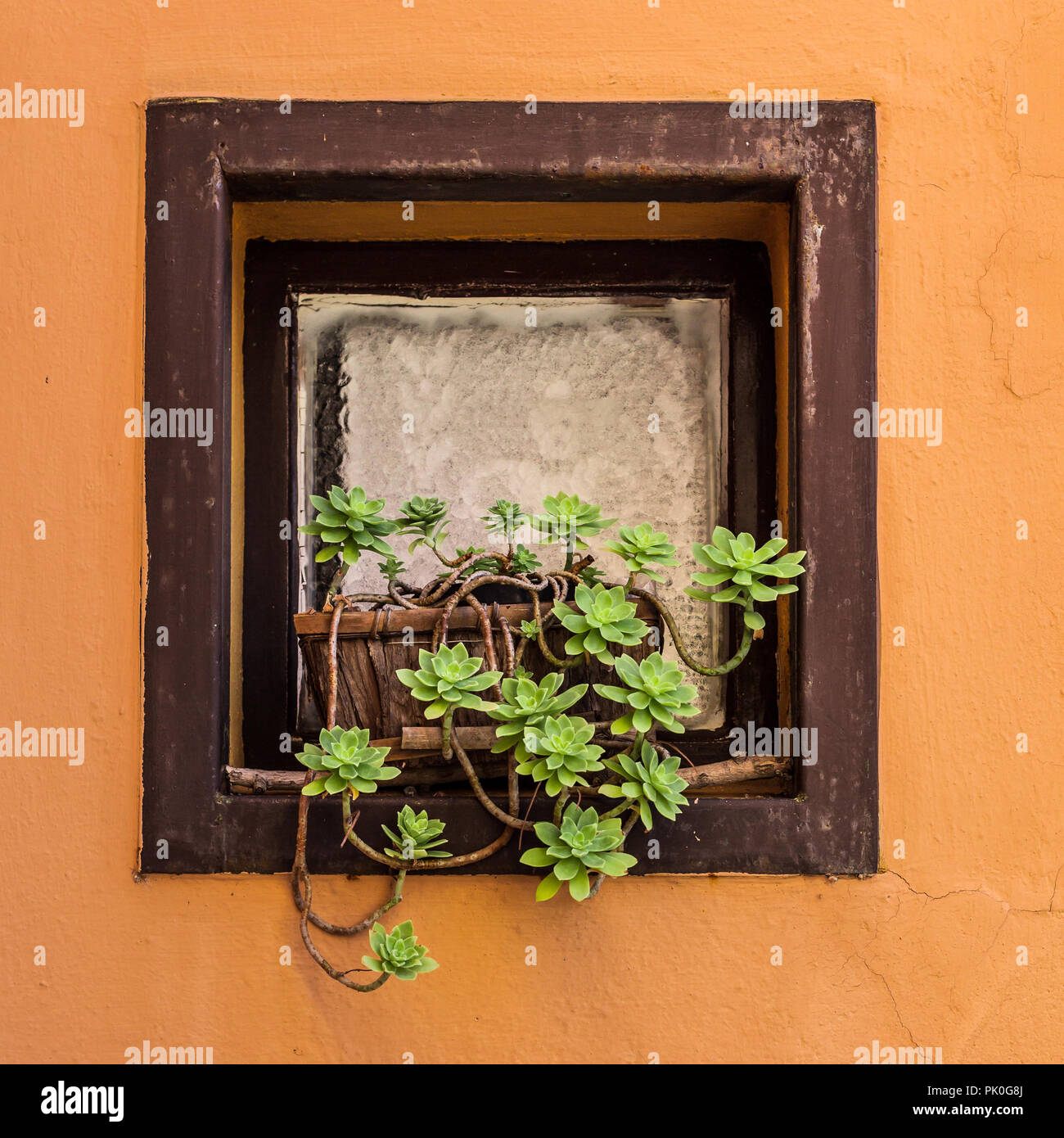 Succulent plant in plant pots on a windowsill - Stock Image