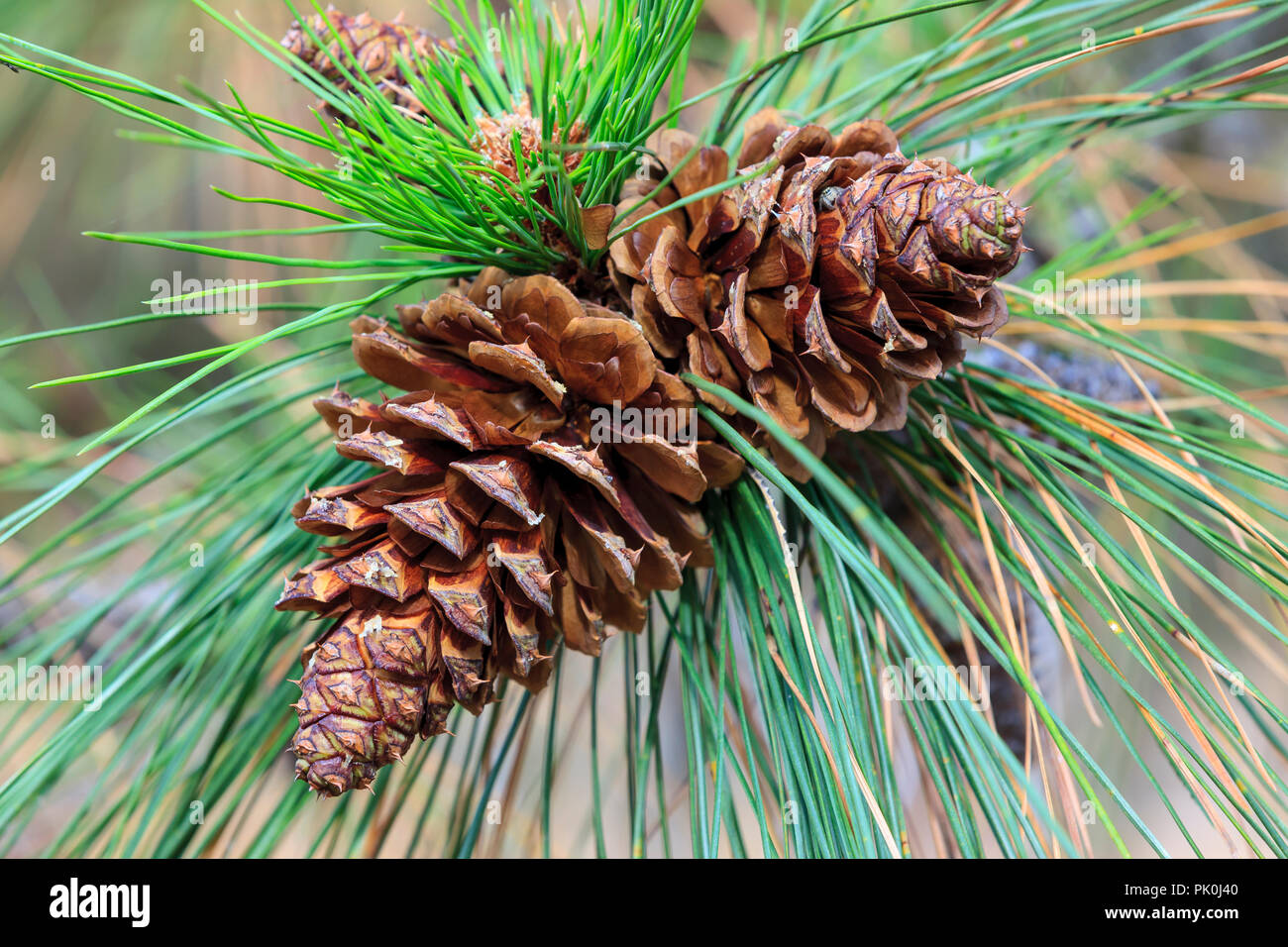 A close up of two pine cones on a tree near Cheney, Washington. - Stock Image