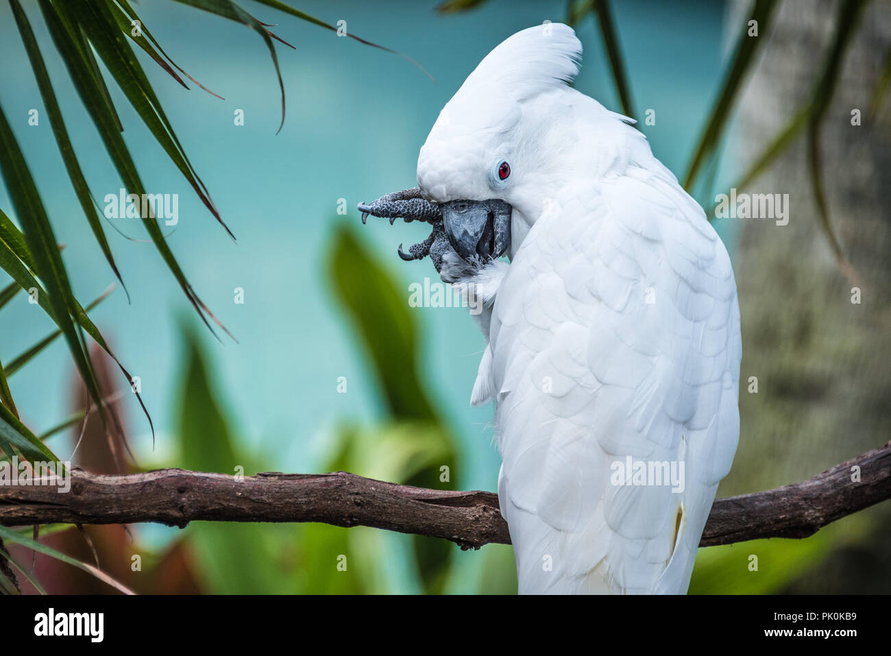 White umbrella cockatoo at St. Augustine Alligator Farm Zoological Park in St. Augustine, Florida. (USA) - Stock Image