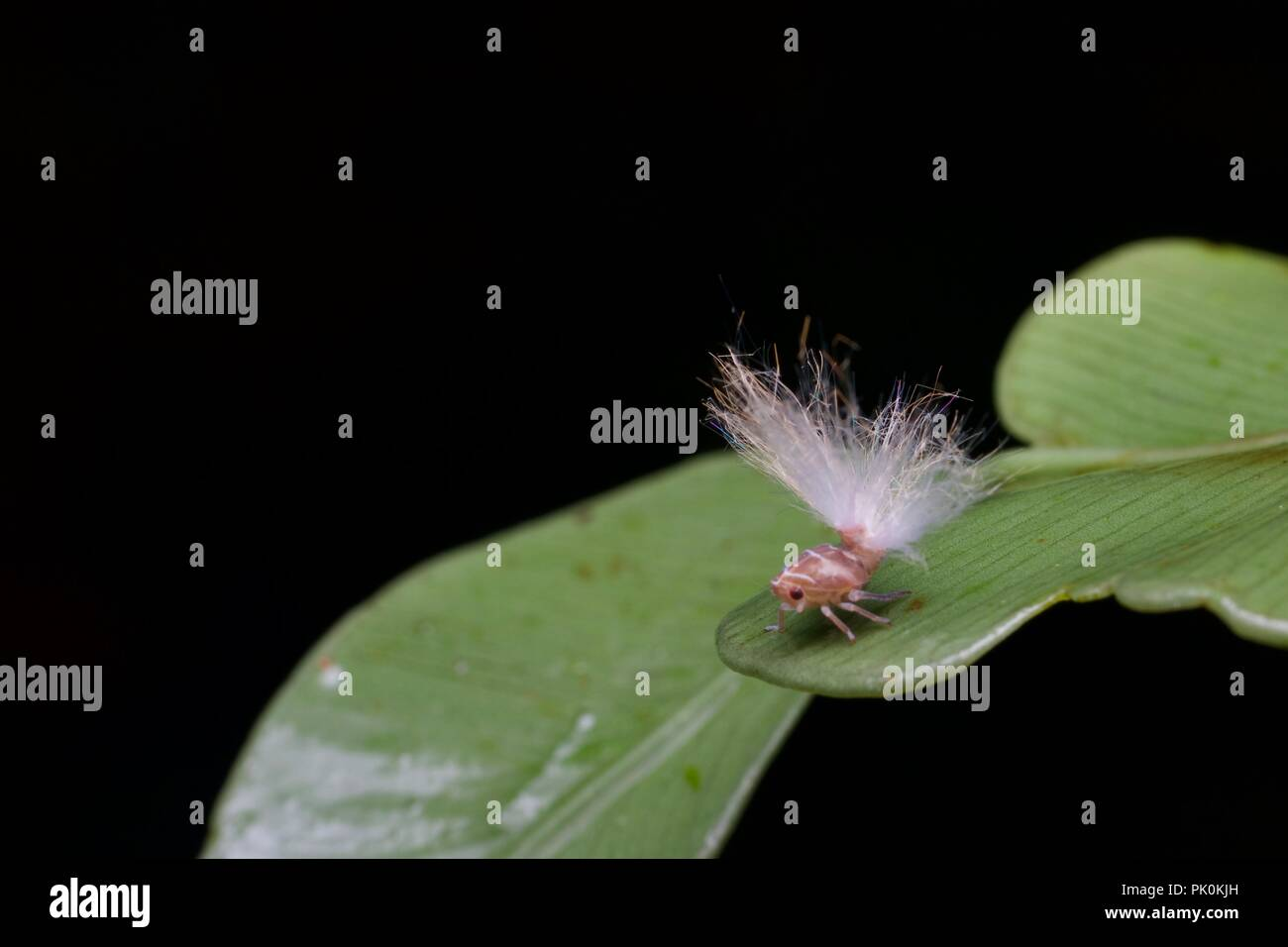A planthopper nymph with a fluffy-looking rear end in Gunung Mulu National Park, Sarawak, East Malaysia, Borneo - Stock Image