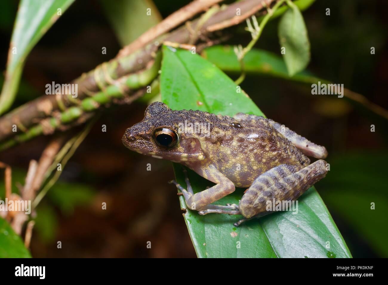 A Brown Marsh Frog (Pulchrana baramica) on a leaf at night in Gunung Mulu National Park, Sarawak, East Malaysia, Borneo - Stock Image