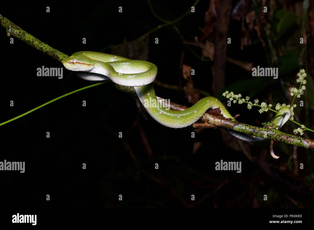 A Bornean Keeled Pit Viper (Tropidolaemus subannulatus) at night in Gunung Mulu National Park, Sarawak, East Malaysia, Borneo - Stock Image