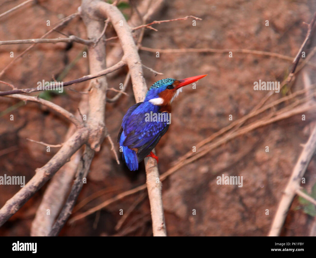 The Malachite Kingfisher is a diminutive jewel-like still hunter of small fish and invertebrates along the watercourses of African river and lakes. - Stock Image