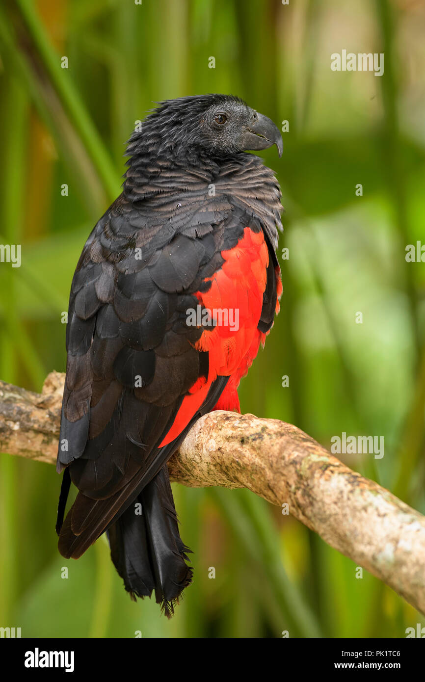 Pesquet's Parrot - Psittrichas fulgidus, large black and red parrot from New Guinea forests and woodlands. - Stock Image