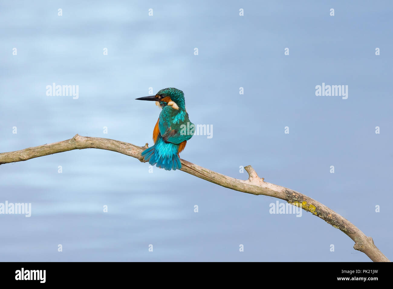 Detailed, landscape close up of a single common kingfisher (Alcedo atthis) rear view, perched on branch above water, fanning out his tail feathers. - Stock Image