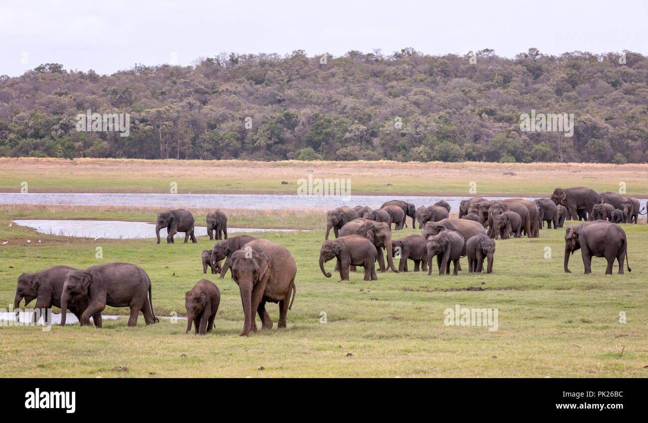 Sri Lankan elephants (Elephas maximus maximus) in Minneriya National Park, Sri Lanka - Stock Image