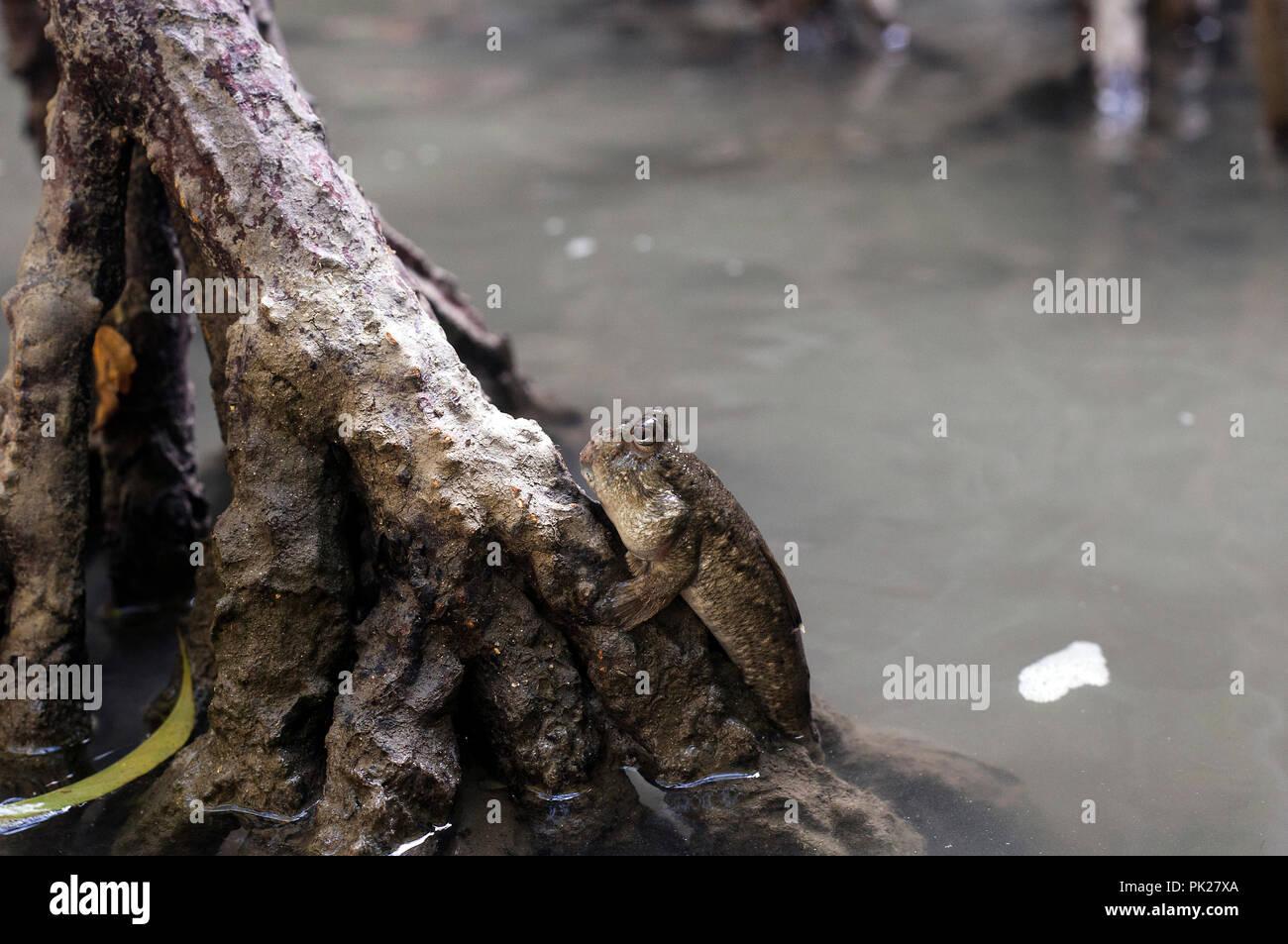 Mudskipper amphibious lungfish fish in mangrove forest - Stock Image