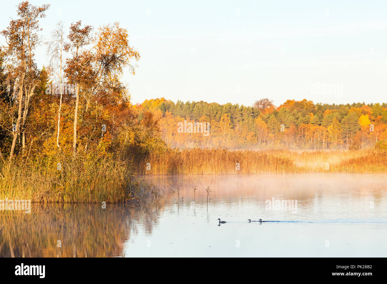 Great Crested Grebes swimming in dawn the mist on the lake in the autumn - Stock Image