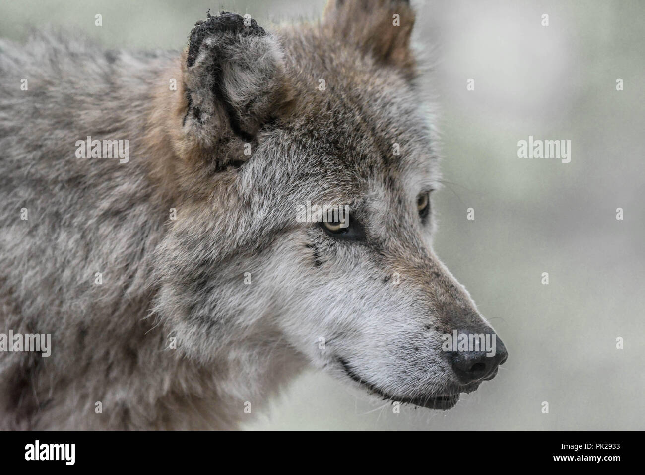 A Mexican gray wolf with scars on his right ear and face Stock Photo
