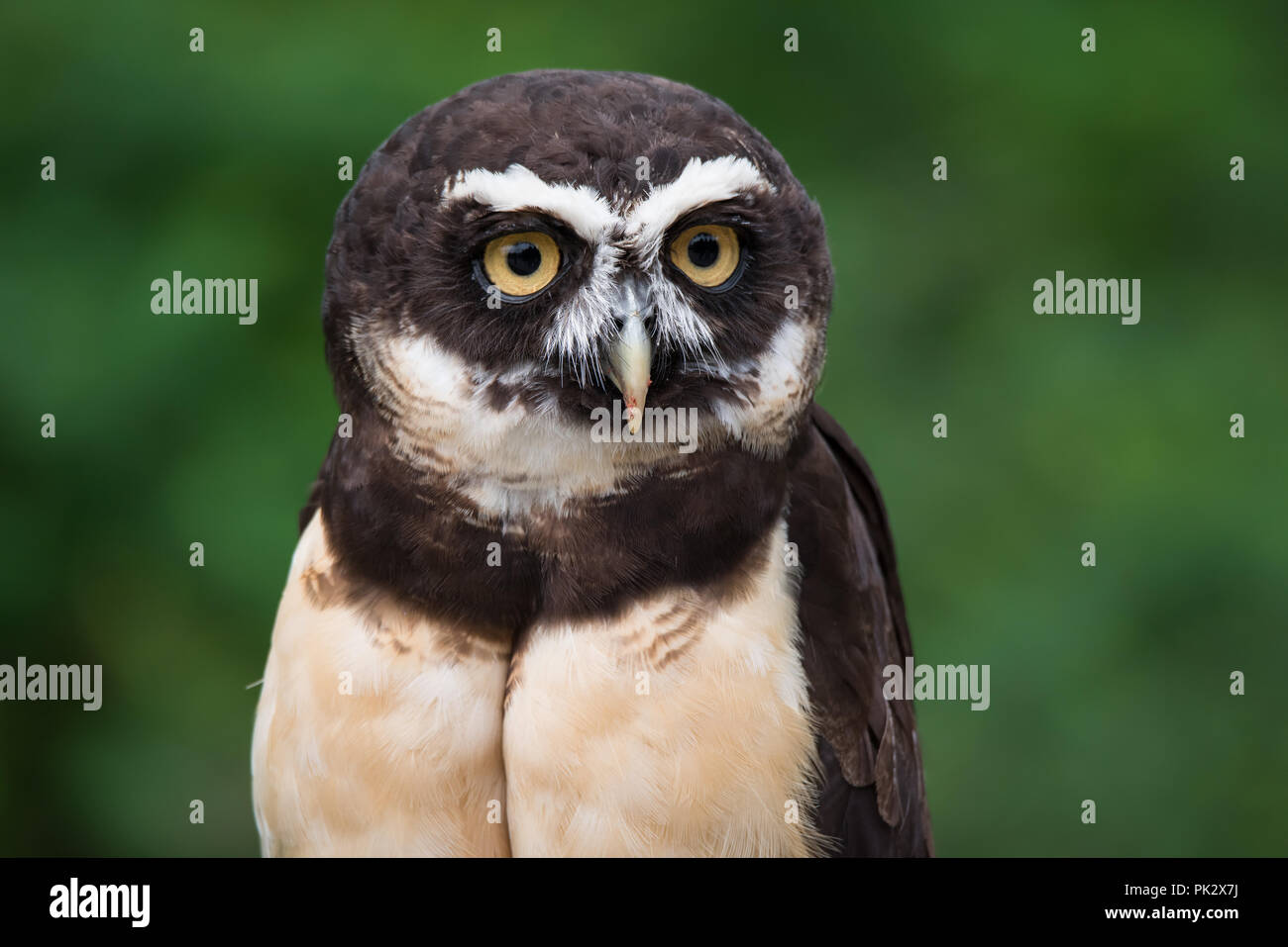 A captive Spectacled Owl at The Toronto Zoo.  Spectacled Owls are native to Central and South America. - Stock Image