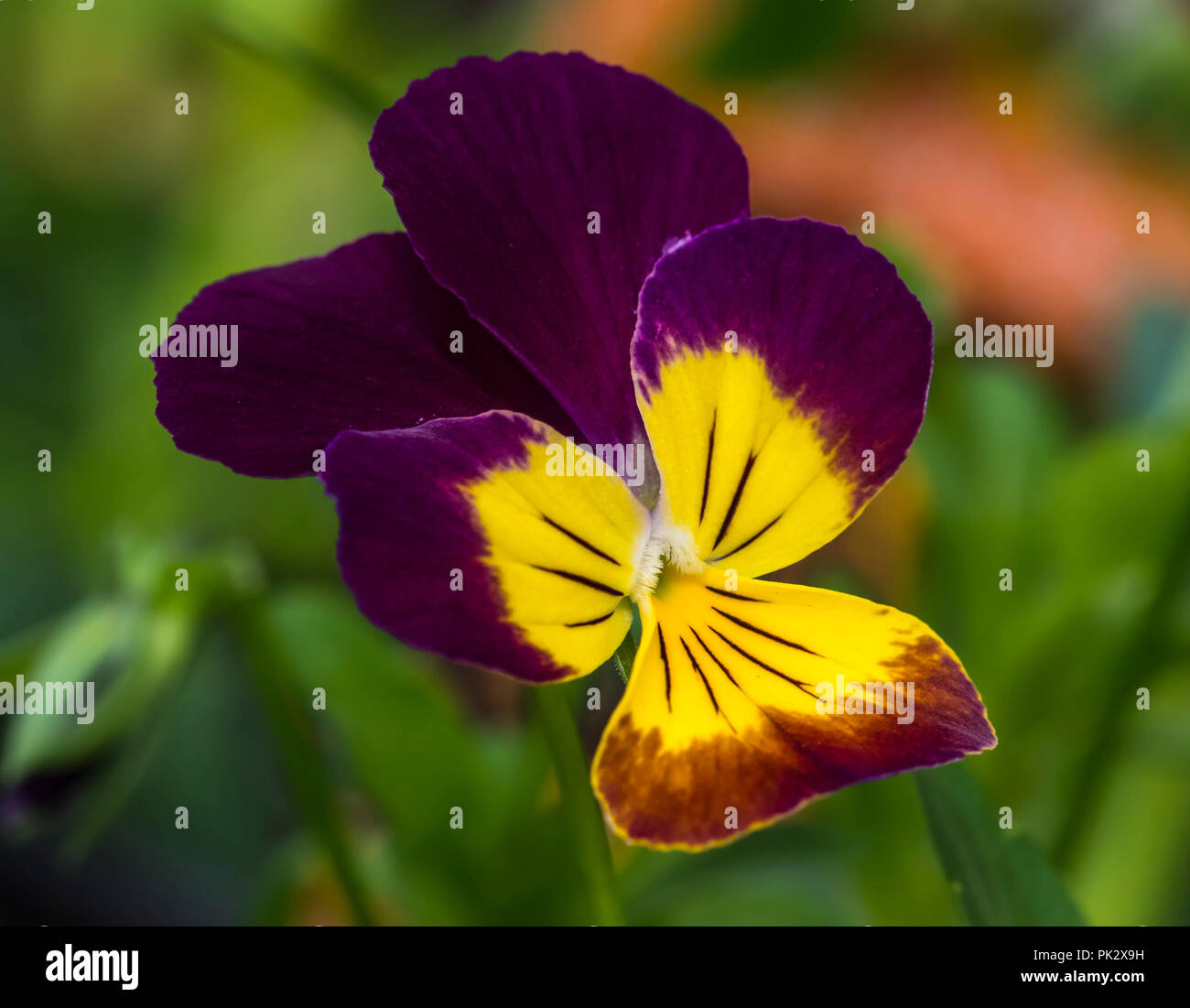 Viola 'Endurio Red with Yellow Face' (Viola cornuta) flower from the annual flowering plant in Autumn in West Sussex, England, UK. - Stock Image