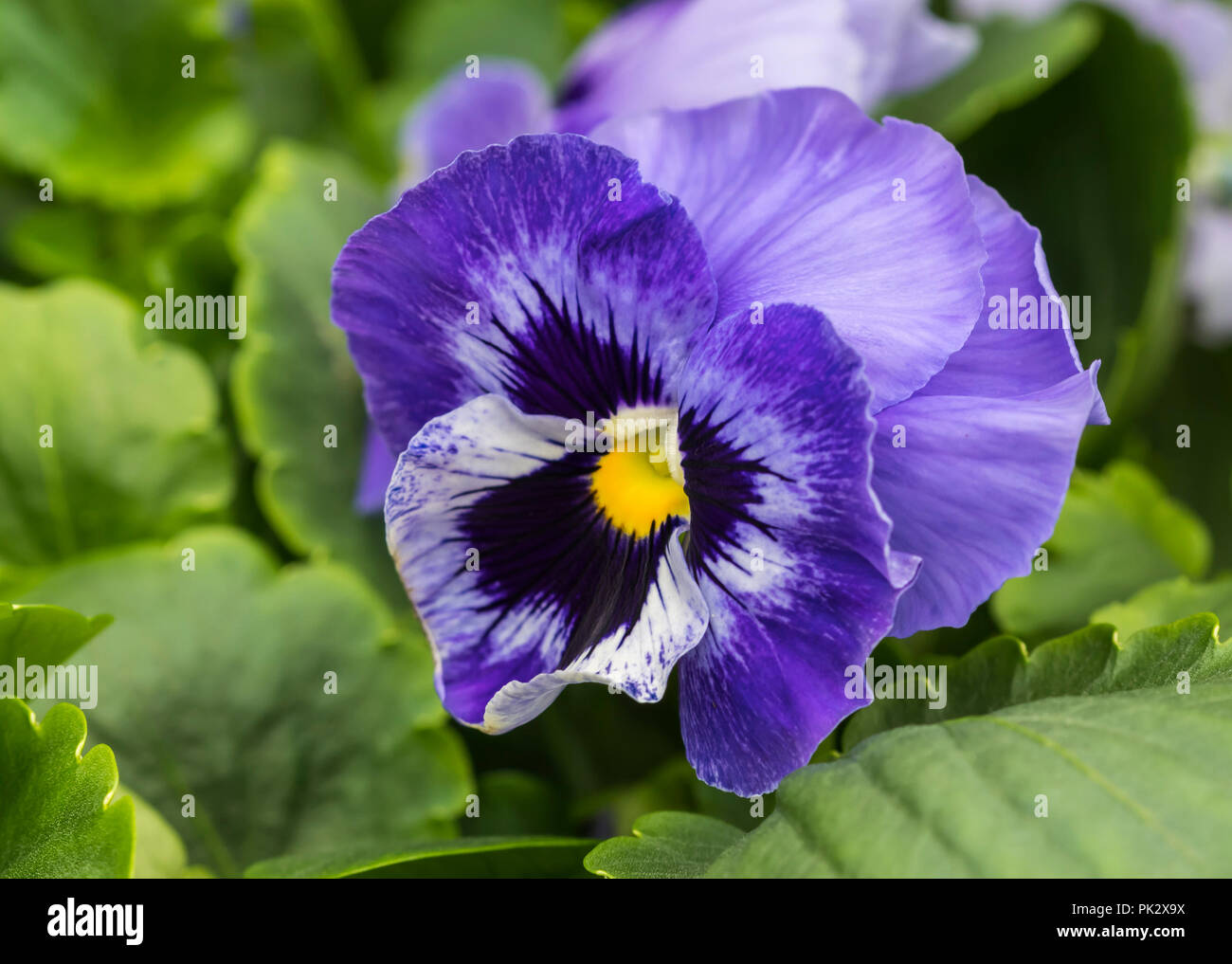 Single purple flower of the annual Pansy 'Marina' (Viola x wittrockiana) in Autumn in West Sussex, UK. Purple pansies. Stock Photo