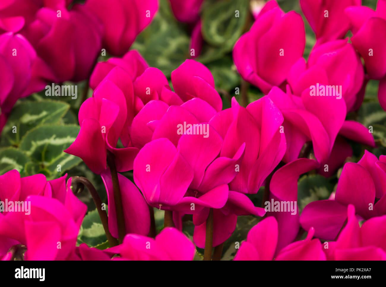 Velvety dark violet Cyclamen Allure, a hardy Cyclamen flower in Autumn in West Sussex, England, UK. - Stock Image