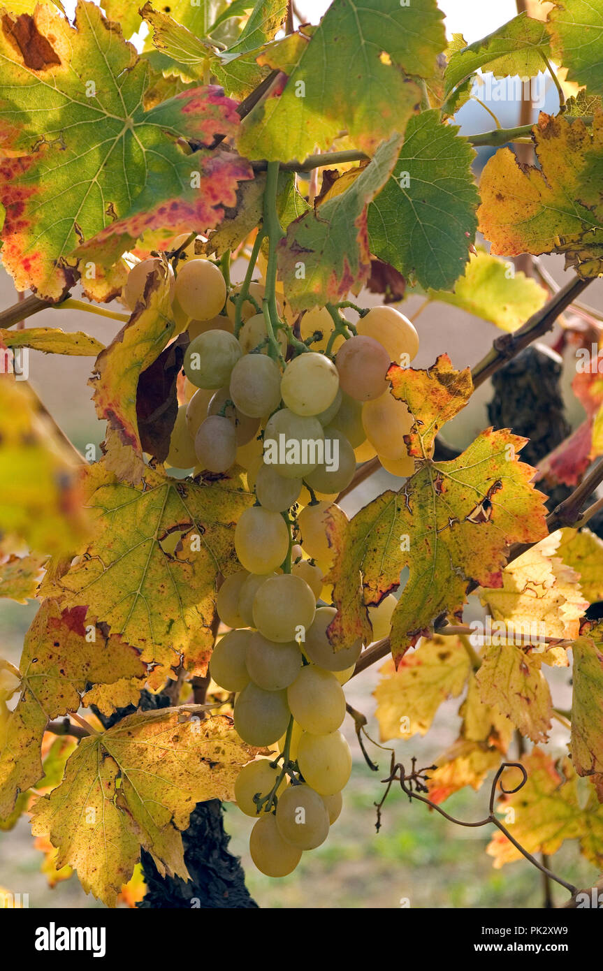 Raisin blanc - automne - White Grape - Autumn - France - Stock Image