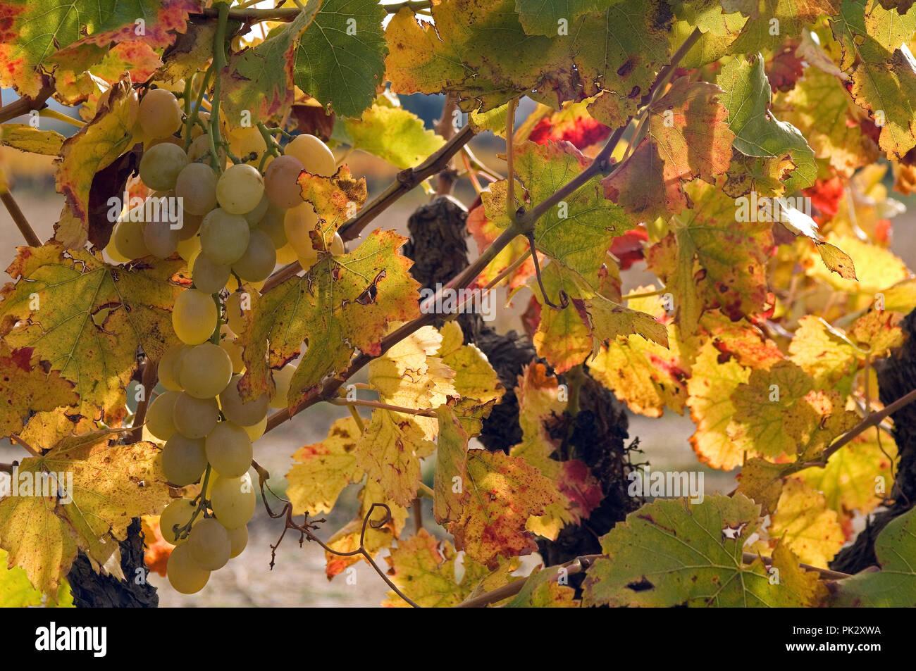White Grape (Vitis vinifera) - Autumn - France Raisin blanc - automne - Stock Image
