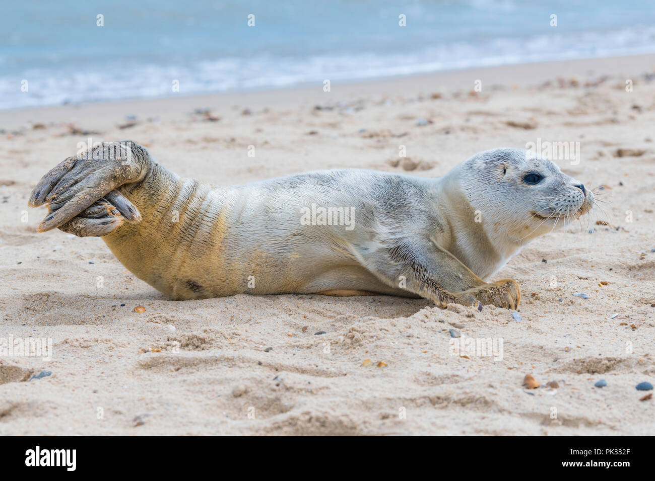 Sea Lion Pups relaxing on the beach on Martello Bay near Clacton-on-sea - Stock Image