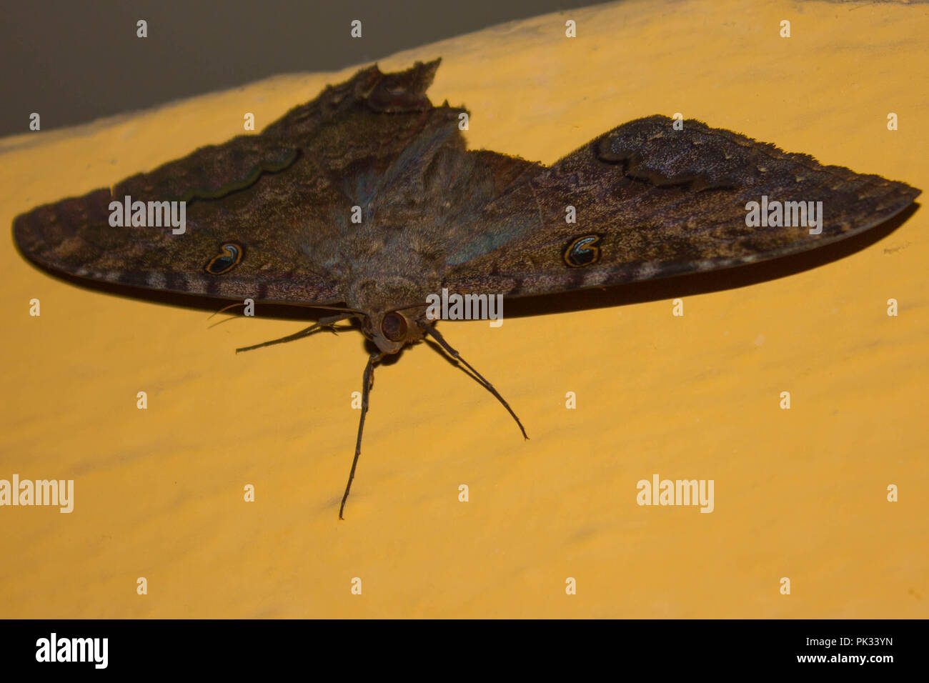Finely Detailed Moth on a Wall - Stock Image