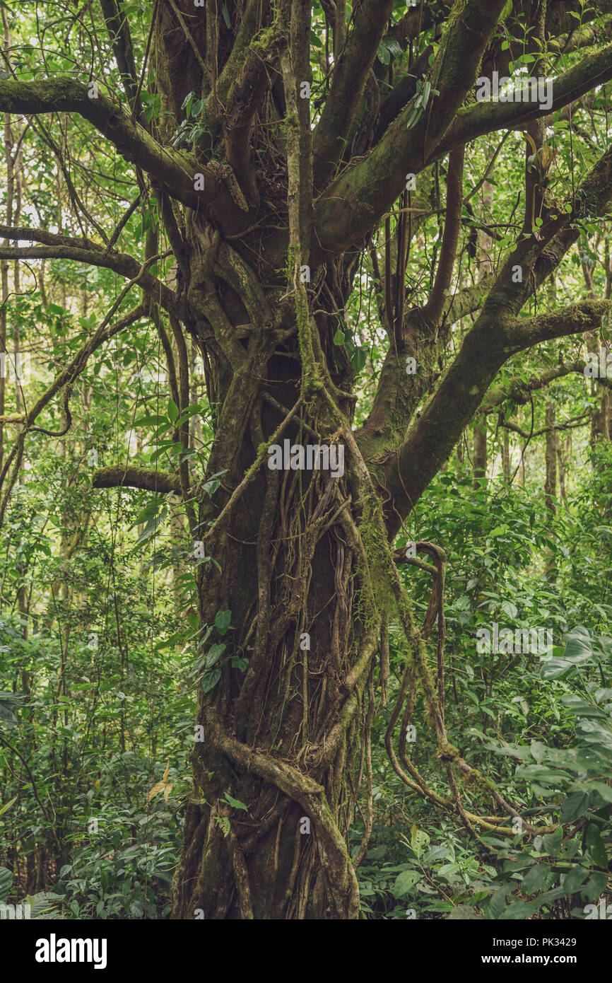 Trees and Vines, Rainforest, Costa Rica - Stock Image