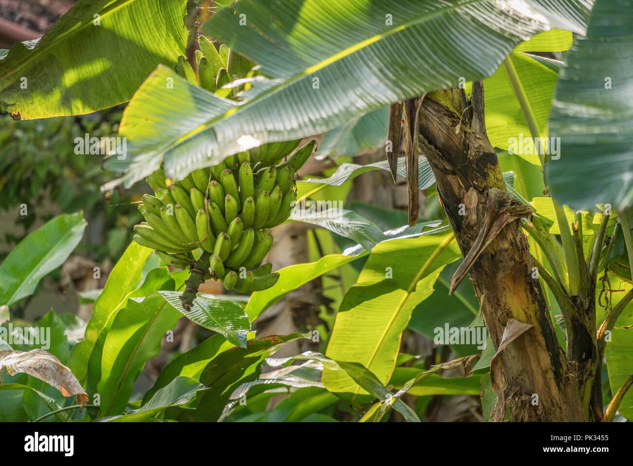 Banana Tree, Costa Rica - Stock Image