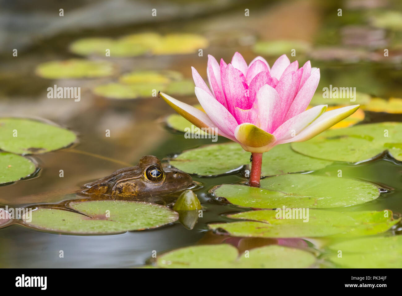 Pink flower and lily pad frog stock photos pink flower and lily american bullfrog next to a pink lily pad and flower stock image izmirmasajfo