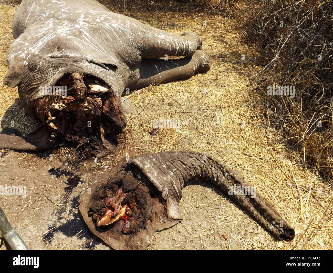 The remains of an elephant poached in Ruaha National Park close enough to one of the safari camps that were shots were clearly heard one evening. The  - Stock Image