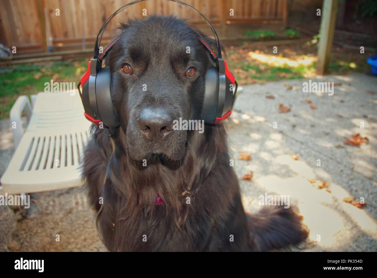 Newfoundland Dog Wearing Headphones - Stock Image