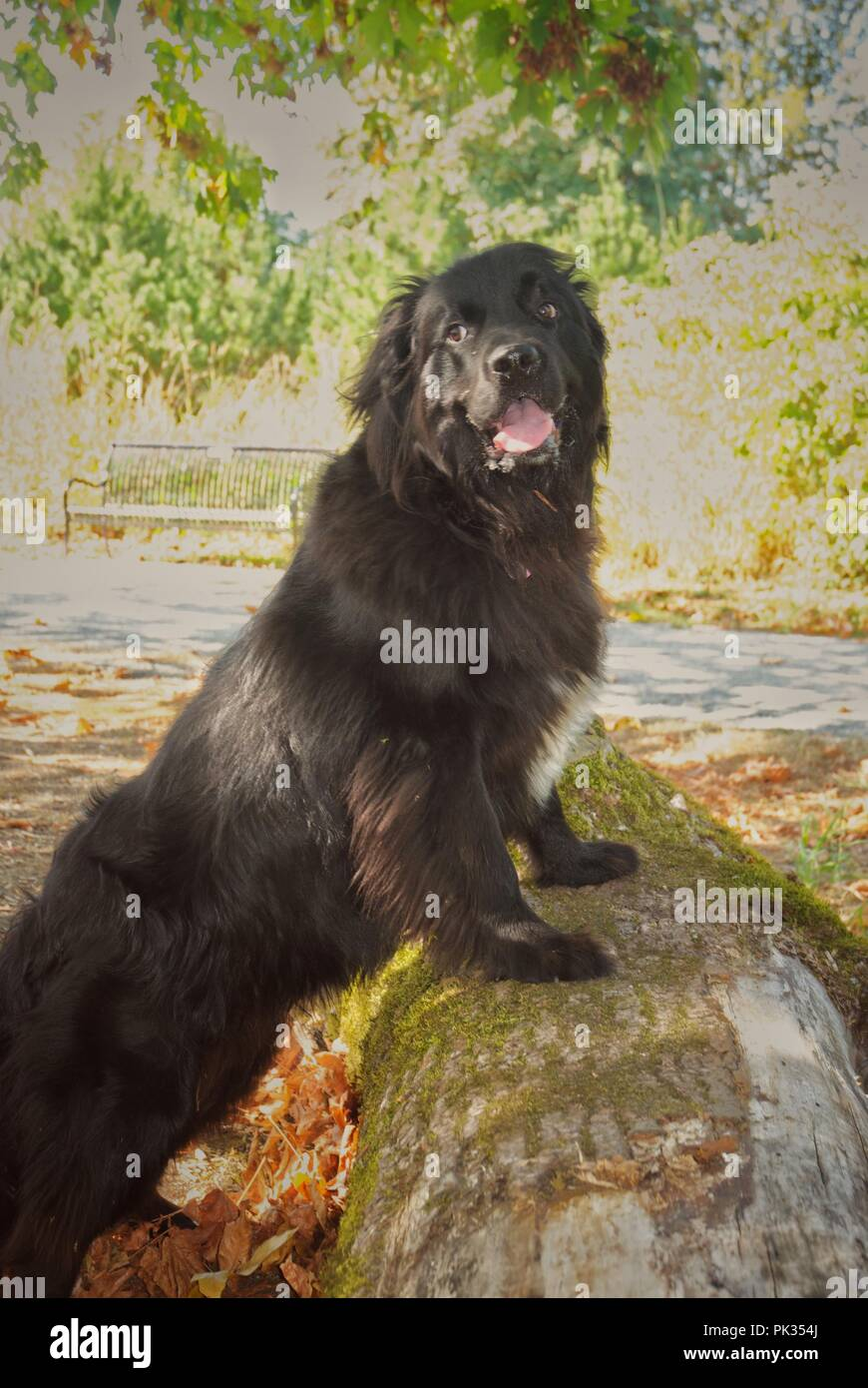 Newfoundland dog standing on a log amidst the trees. - Stock Image