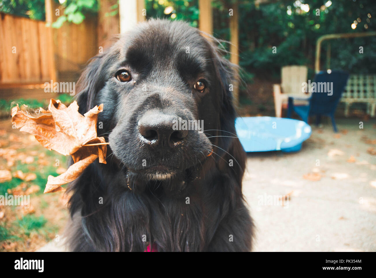 Newfie pup holding a leaf. - Stock Image