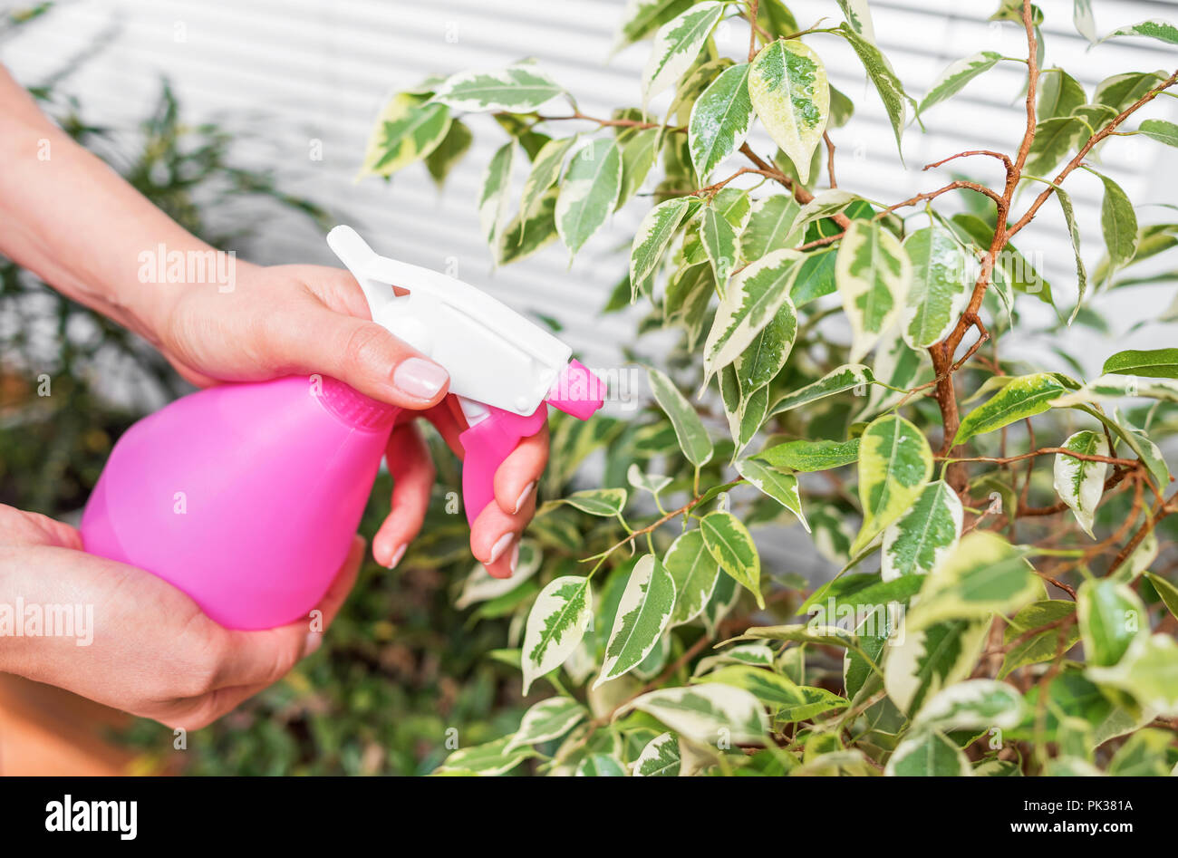 Moisten home plants with an atomizer. Close-up. - Stock Image