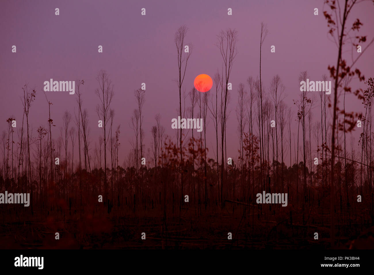 sunset against dry forest  season change ,earth warming concept - Stock Image