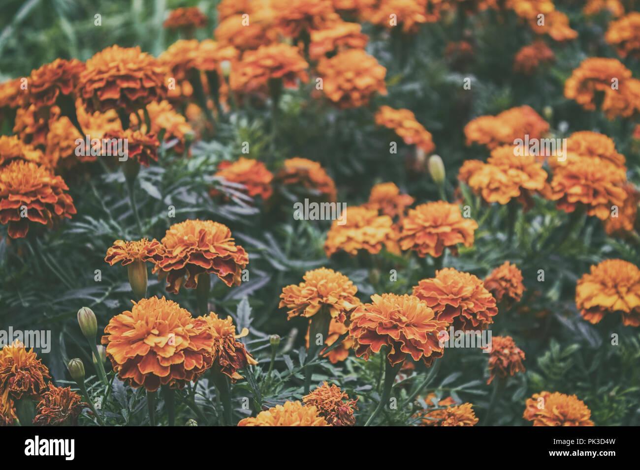 Marigold flowers. Garden flowers. Yellow flowers. Orange flowers. Summer flowers. Stock Photo