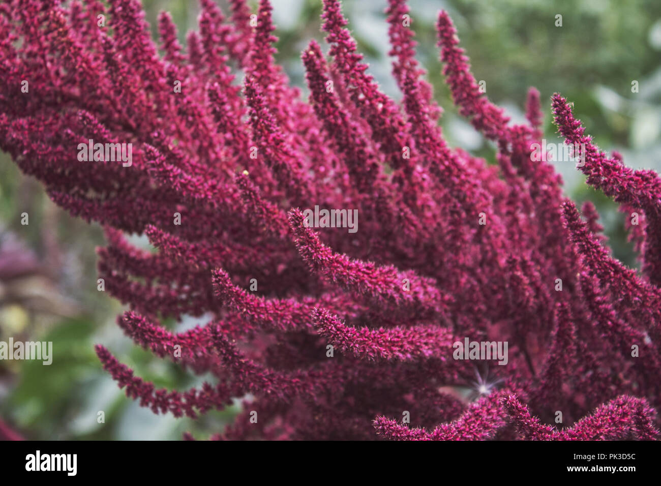 Ornamental purple inflorescences of amaranth. Bright fluffy blossom. Purple plant. Stock Photo