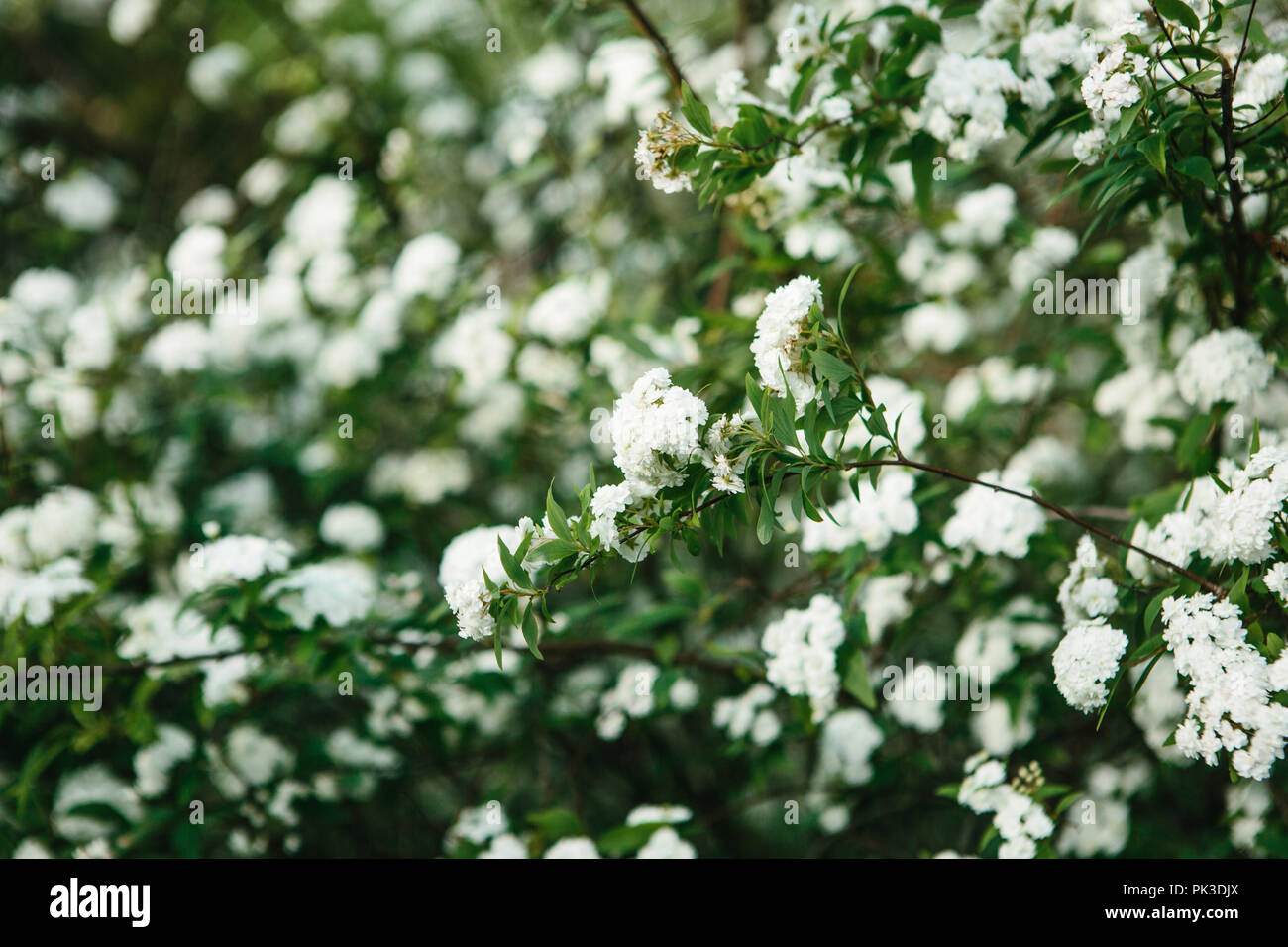 Close Up Blossoming Tree In Spring Branches With White Flowers