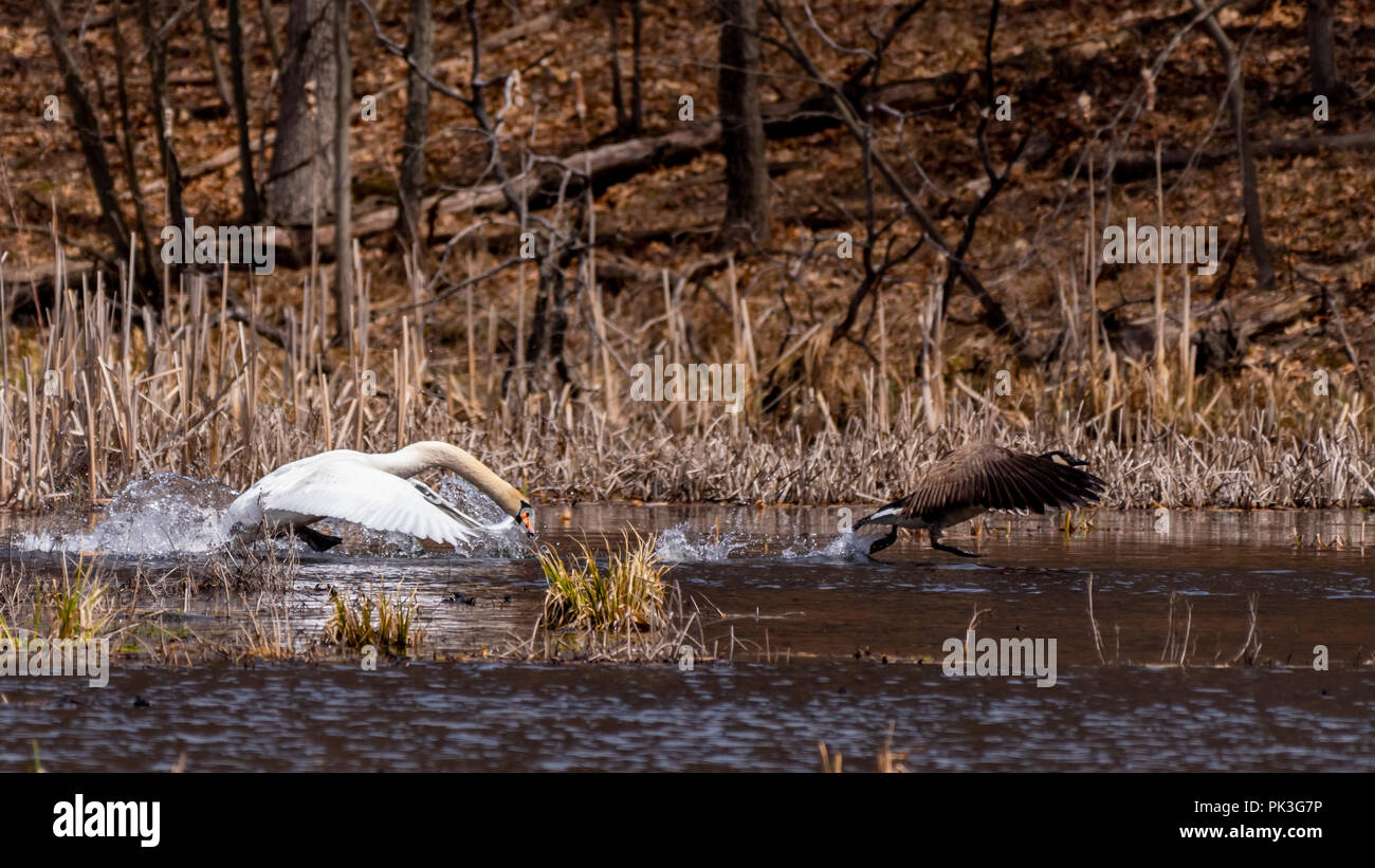 Mute Swan (Cygnus olor) (an invasive species in North America) chasing a native species - Canada Goose (Branta canadensis) over the surface of a lake. - Stock Image