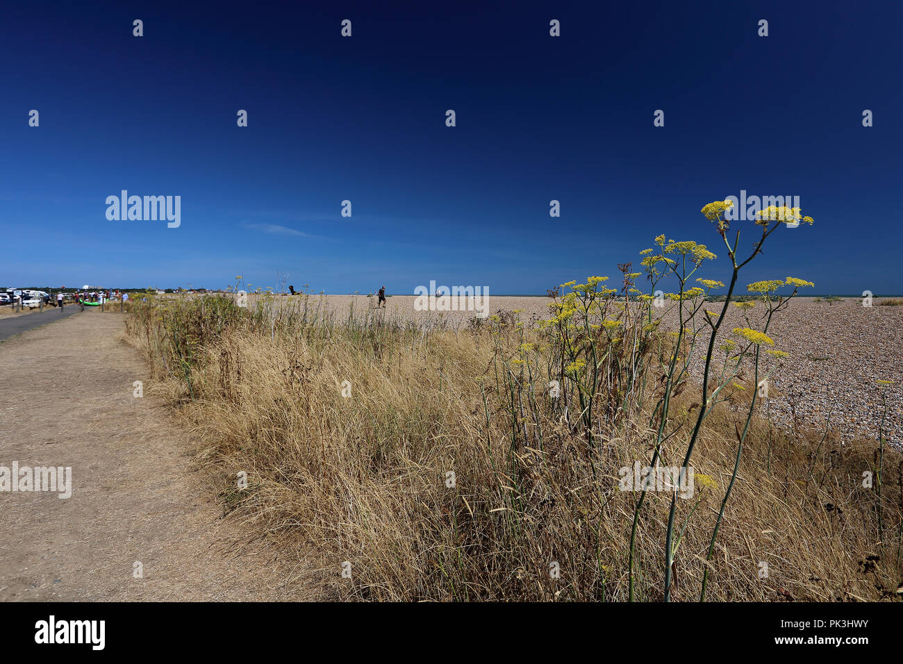 Weeds grow high in the hot summer sun alongside a track next to the shingle beach at Aldeburgh, Suffolk, UK - Stock Image