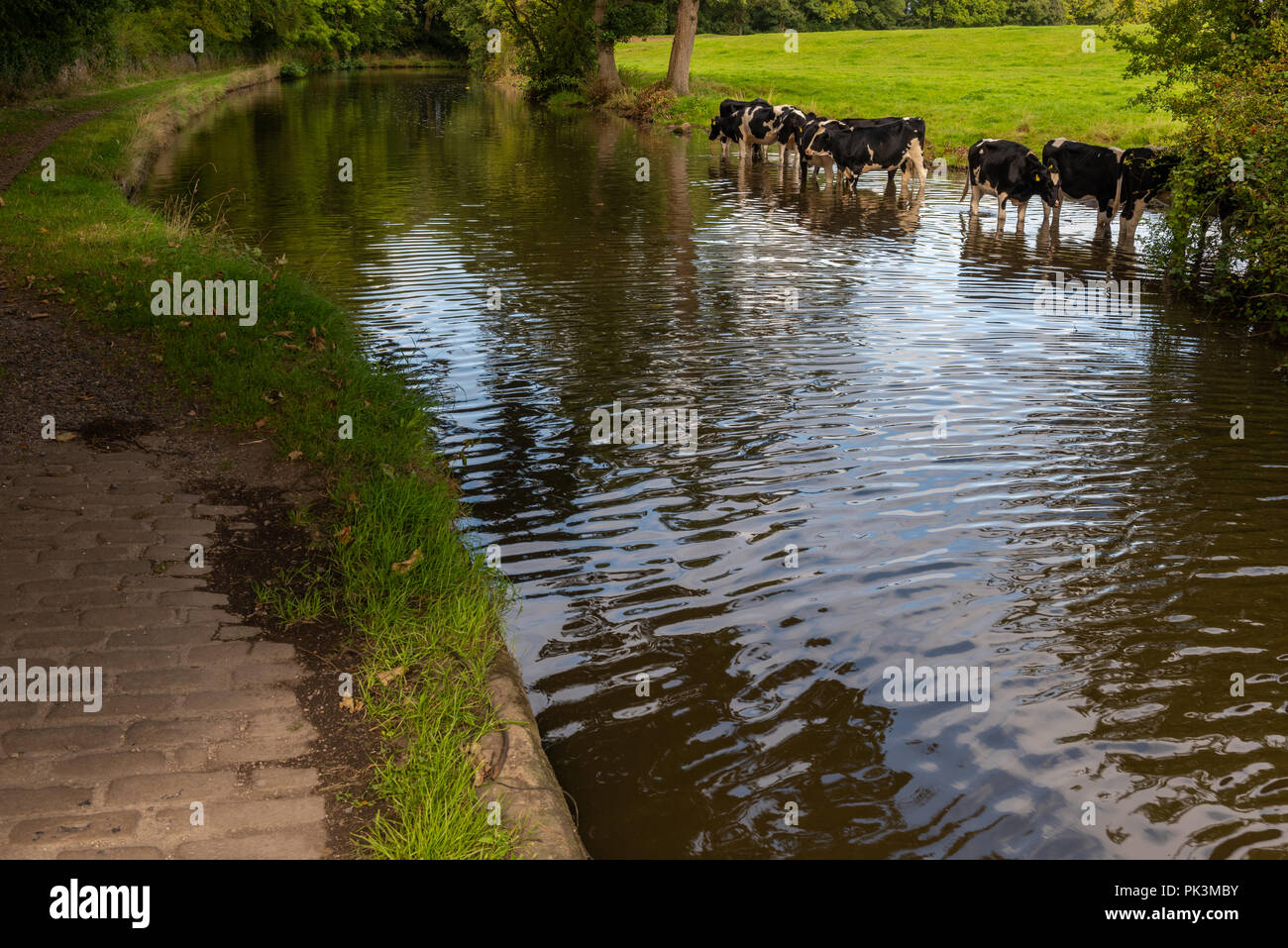 Cattle drinking in the Lancaster Canal at Forton in Lancashire - Stock Image