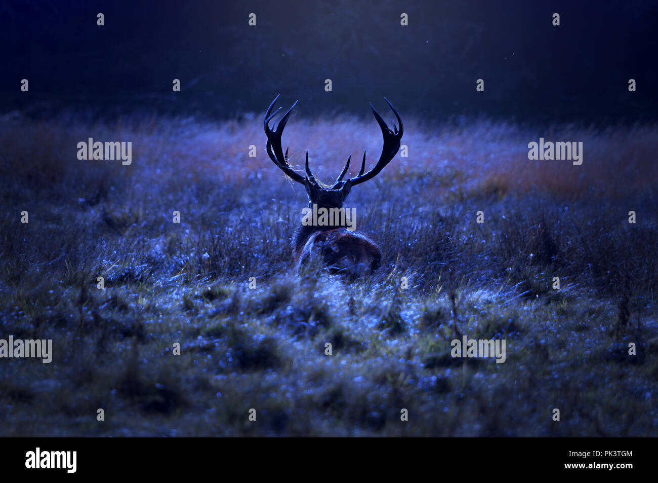Lonely stag walking alone on field by the forest at night. - Stock Image