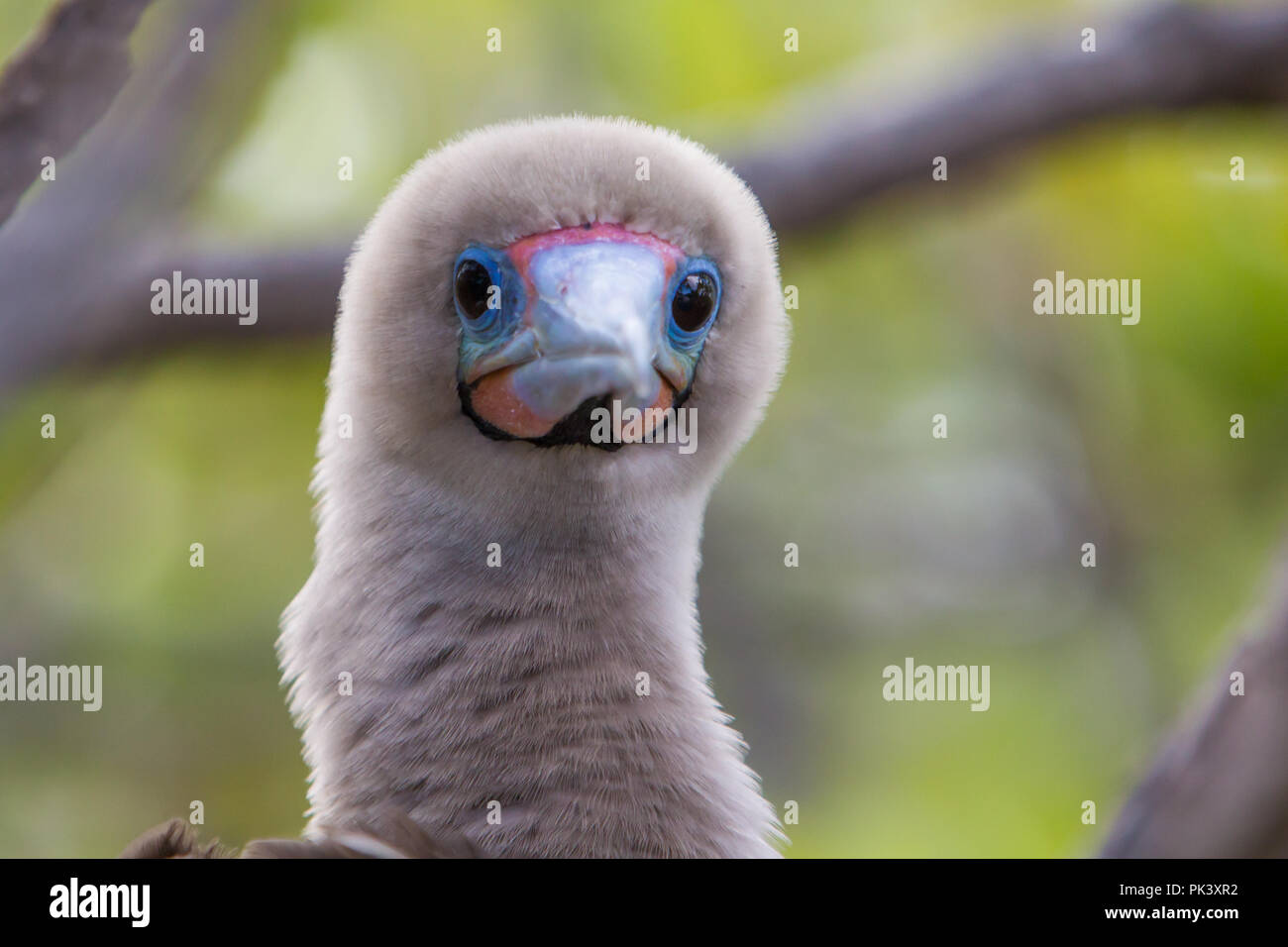Red-footed booby nesting in one of the small islets or motus at Millennium atoll in the southern line islands of Kiribati - Stock Image