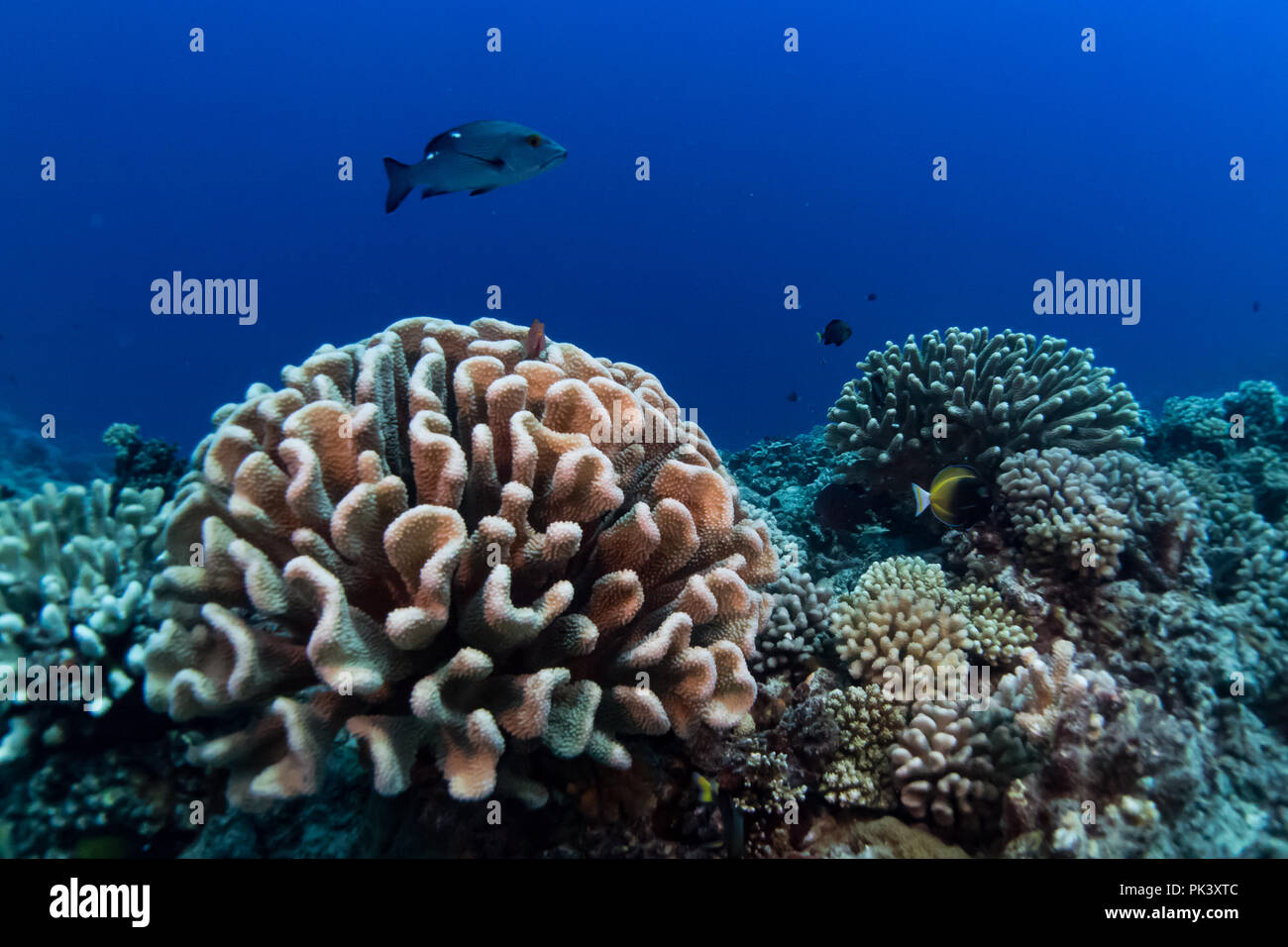 SCUBA diving in the crystal clear water of Makatea island in French Polynesia with beautiful healthy coral and large fish such as this snapper Stock Photo