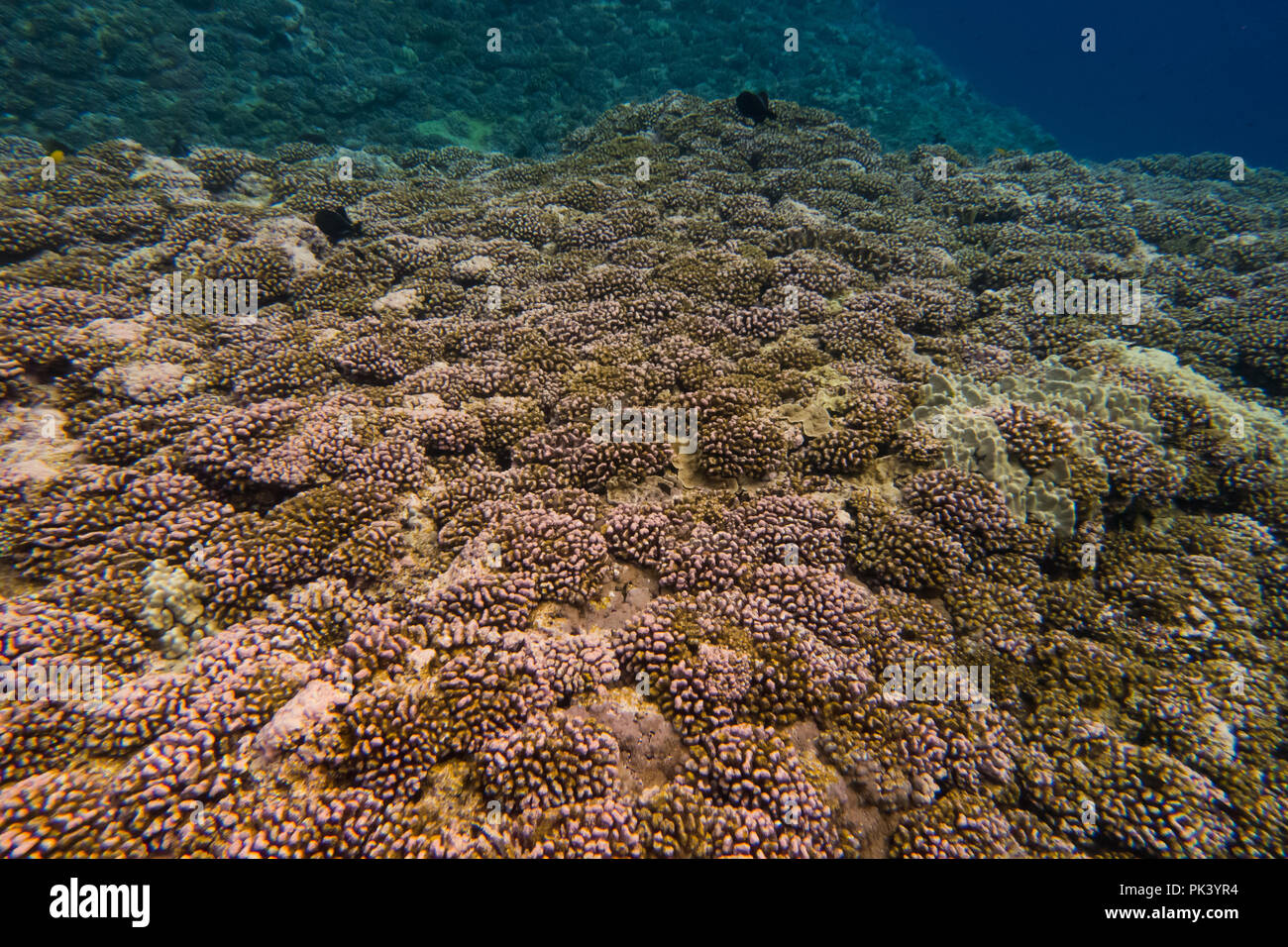 Snorkeling at Flint Island in the southern line islands of Kiribati showing the dead coral from a recent coral bleaching event due to climate change. - Stock Image