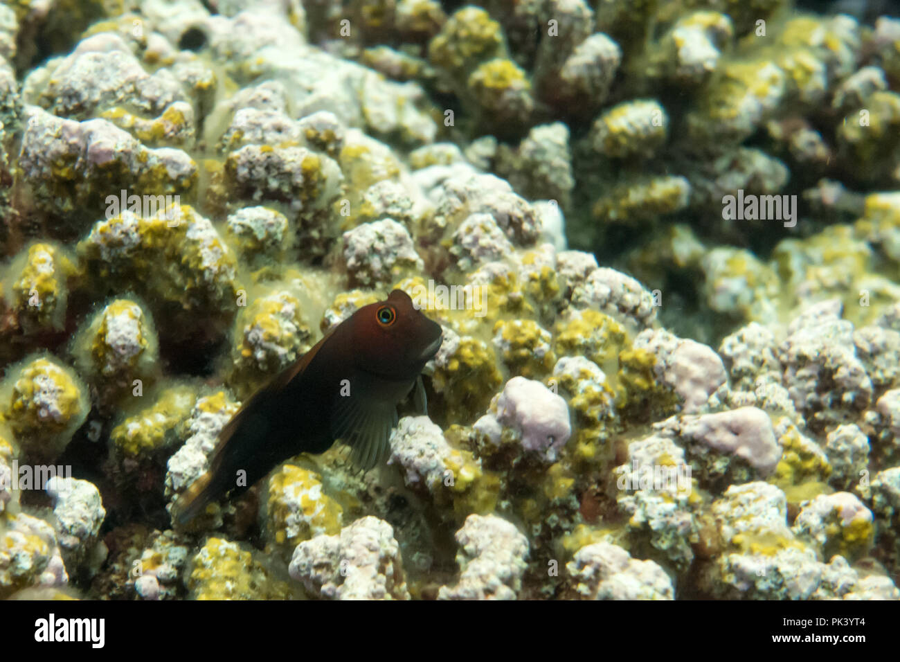 A blend sits on the dead coral due to bleaching and climate change at Flint Island, in the southern line islands of Kiribati - Stock Image